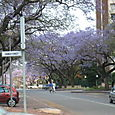 Street leading to Union Building lined with jacaranda trees
